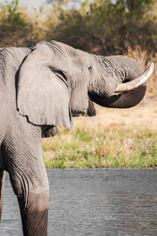 Elephant Drinking Water at Riverの写真素材 [FYI00771325]