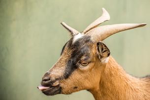 Portrait of a Pygmy Goatの写真素材 [FYI00771328]