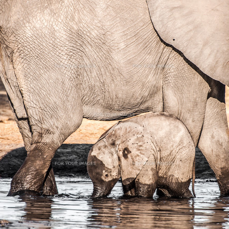 Baby Elephant with Mother in Waterの写真素材 [FYI00771330]