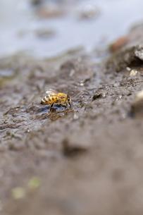 western honey bee - apis melliferaの写真素材 [FYI00771337]
