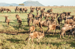 herd of wildebeestの写真素材 [FYI00771366]