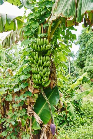 banana treeの素材 [FYI00771383]