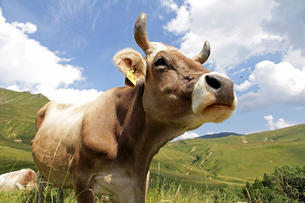 brown swiss with horns in the mountainsの写真素材 [FYI00771405]