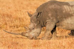 White Rhino in Nakuru Park,White Rhino in Nakuru Parkの写真素材 [FYI00772181]