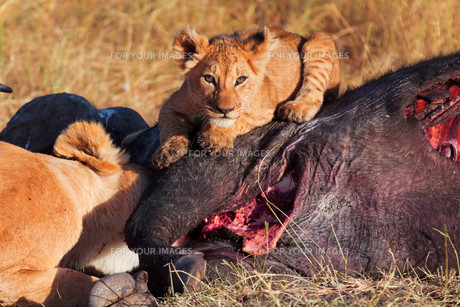 Lioness with cub in Masai Maraの写真素材 [FYI00772218]