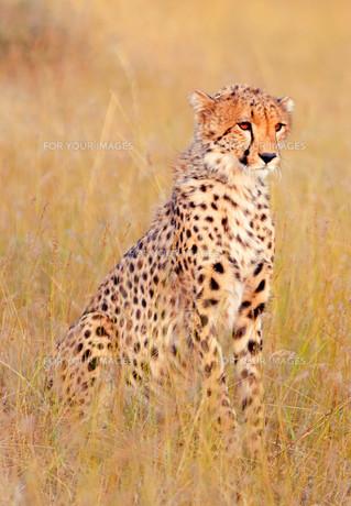 Male cheetah in Masai Maraの写真素材 [FYI00772964]