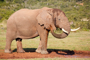 Elephant having Mud Bathの素材 [FYI00773188]