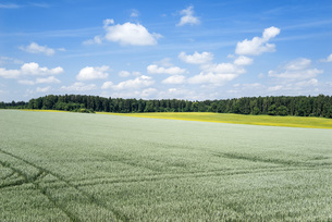 view over a large grain field with green wheat in a rural landscapeの写真素材 [FYI00775695]