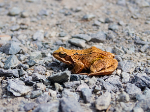 Common toad, rana temporaria, sitting on the rocky roadの写真素材 [FYI00775738]