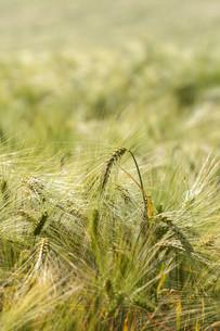 rye - secale cereale - earsの素材 [FYI00775743]
