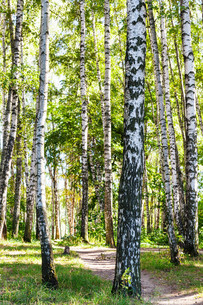 birch trees near path in forest in summerの写真素材 [FYI00776399]