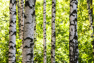 white birch trees trunks in woods in summerの写真素材 [FYI00776403]