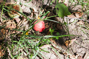 fallen ripe apples on dry groundの写真素材 [FYI00776419]