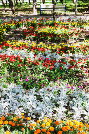 flowerbed with dianthus flowers and jacobaea plantの写真素材 [FYI00776465]