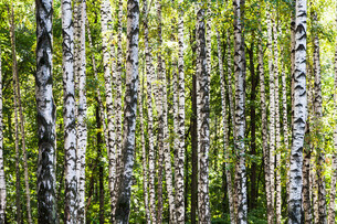 white birch trees trunks in grove in summerの写真素材 [FYI00776484]