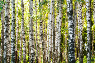 white birch trees trunks in forest in summerの写真素材 [FYI00776514]