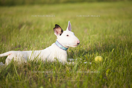 Bull terrier puppy playing in the grassの写真素材 [FYI00776610]