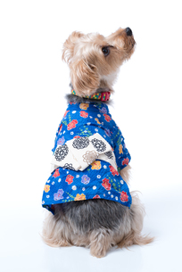 Yorkshire Terrier in Japanese Yukataの写真素材 [FYI00776839]