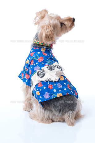 Yorkshire Terrier in Japanese Yukataの写真素材 [FYI00776843]