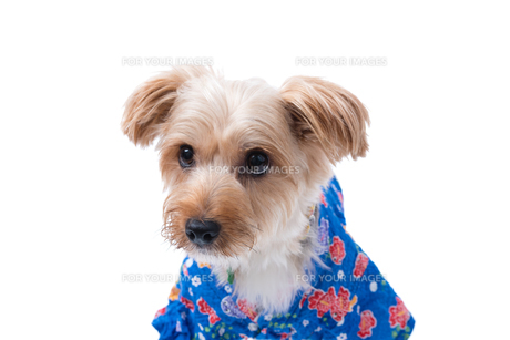 Yorkshire Terrier in Japanese Yukataの写真素材 [FYI00776851]