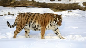 Ussuri tiger goes on snow-covered trailの写真素材 [FYI00777264]