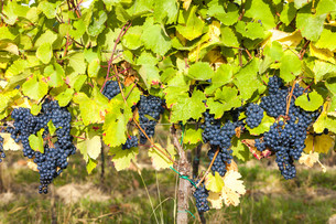 blue grapes in vineyard, Southern Moravia, Czech Republicの写真素材 [FYI00777293]