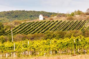 God''s torture near Hnanice with autumnal vineyard, Southern Moravia, Czech Republicの写真素材 [FYI00777297]