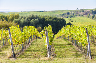 vineyard near Hnanice, Southern Moravia, Czech Republicの写真素材 [FYI00777301]