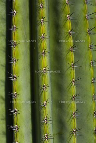 cactusの素材 [FYI00778108]
