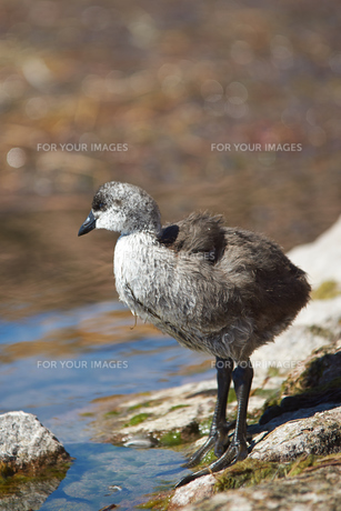 Chick of Giant Cootの写真素材 [FYI00778200]