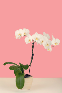 paste color romantic branch of white orchid on beige backgroundの写真素材 [FYI00778221]