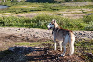 Husky dog looking at the mountains in the summerの素材 [FYI00778844]