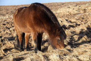 Brown icelandic pony on a meadowの写真素材 [FYI00779145]