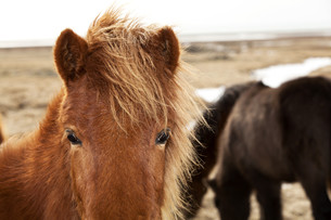 Closeup of a brown Icelandic ponyの写真素材 [FYI00779151]