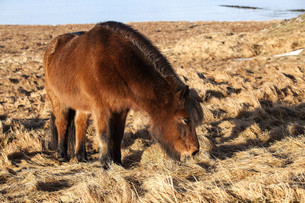 Brown icelandic pony on a meadowの写真素材 [FYI00779154]