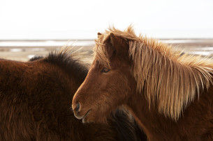 Brown Icelandic horse on a meadowの写真素材 [FYI00779164]