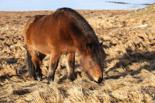 Brown icelandic pony on a meadowの写真素材 [FYI00779170]