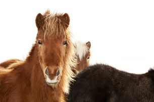 Portrait of an Icelandic pony with a brown maneの写真素材 [FYI00779175]