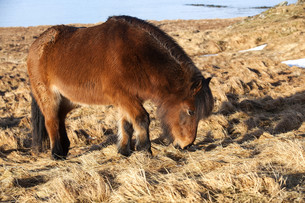 Brown icelandic pony on a meadowの写真素材 [FYI00779231]