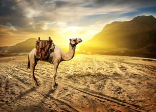 Camel in desertの写真素材 [FYI00779676]