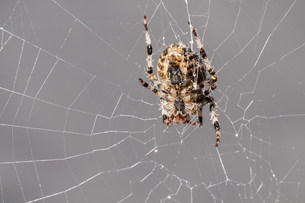 a spider at workの写真素材 [FYI00779813]