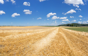 gold yellow stubble rows with straw in a rural landscapeの素材 [FYI00779989]