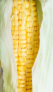 yellow seeds in natural ear of cornの写真素材 [FYI00780302]