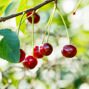 twig with several red cherry ripe fruits close upの写真素材 [FYI00781752]