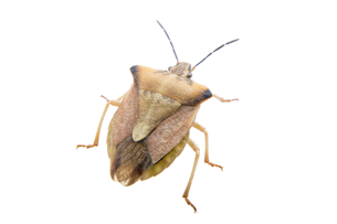 Brown shield bug on a white backgroundの写真素材 [FYI00782311]