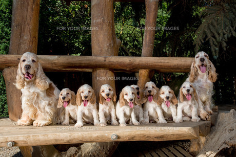 family of English Cocker Spaniel with small puppyの写真素材 [FYI00782393]