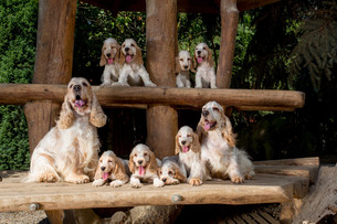 family of English Cocker Spaniel with small puppyの写真素材 [FYI00782398]