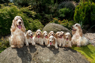 family of English Cocker Spaniel with small puppyの写真素材 [FYI00782406]