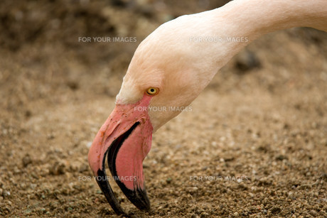 Beautiful American Flamingos on eng in nestの写真素材 [FYI00782648]