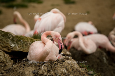 Beautiful American Flamingos on eng in nestの写真素材 [FYI00782665]